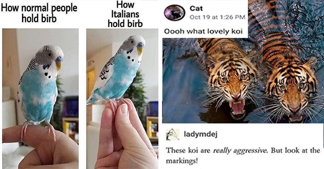 "week's best top and funniest animal memes - thumbnail includes two images one of holding a bird in italian and the other of two tigers swimming in water ""oooh what lovely koi"" ladymdej These koi are really aggressive. But look at markings!"