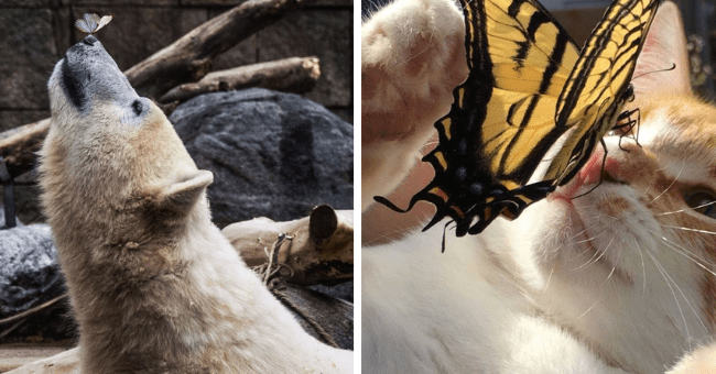 pictures and videos of butterflies on different animals' noses thumbnail includes two pictures including a bear with a butterfly on its nose and a cat on its back with a large yellow butterfly on its nose