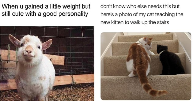 wholesome adorable animal memes to uplifting spirits - thumbnail includes two images one of happy lamb smiling and one of a cat teaching a kitten how to use the stairs | u gained little weight but still cute with good personality | don't know who else needs this but here's photo my cat teaching new kitten walk up stairs
