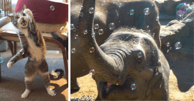 pictures and gifs of animals playing with bubbles thumbnail includes two pictures including a cat with its paw up playing with bubbles and an elephant happily surrounded by bubbles