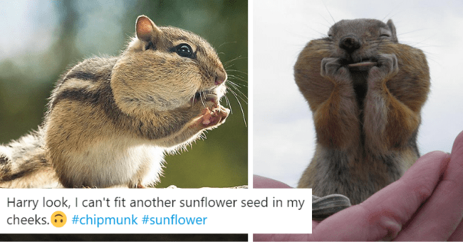 pictures of chipmunks with full cheeks thumbnail includes two pictures of chipmunks with full chubby cheeks eating sunflowers 'Squirrel - Harry Foster @harry_fosters Harry look, I can't fit another sunflower seed in my cheeks. O #chipmunk #sunflower Charryfoster >'