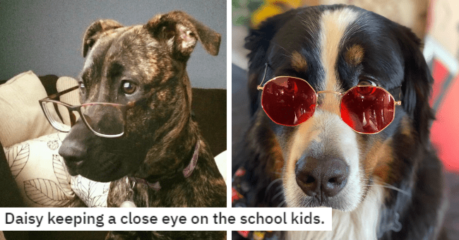 pictures and tweets of dogs wearing glasses and sunglasses thumbnail includes two pictures including one of a brown dog wearing glasses 'Dog - Daisy keeping a close eye on the school kids' and another of a dog wearing red sunglasses