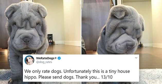 fresh batch of dog rates from popular twitter acound 'we rate dogs' - thumbnail of cute dog that looks like a wrinkly baby hippo | WeRateDogs dog_rates only rate dogs. Unfortunately this is tiny house hippo. Please send dogs. Thank 13/10 Shar Pei