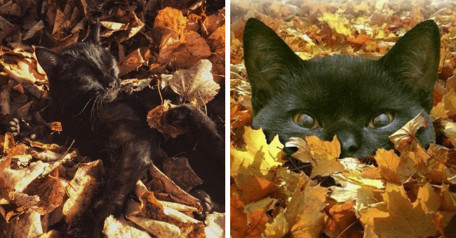 pictures and tweets of cats playing around in leaves in the autumn thumbnail includes two pictures including a black cat hidden in orange leaves and another of a black cat lying in leaves