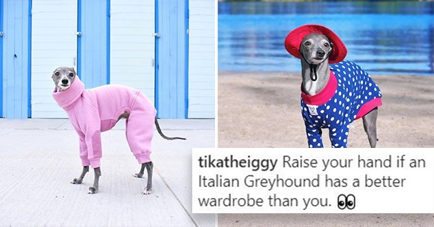 tika the italian greyhound and her colorful wardrobe - thumbnail features two images of tika rocking stylish outfits | Raise hand if Italian Greyhound has better wardrobe pink onesie red hat polka dots