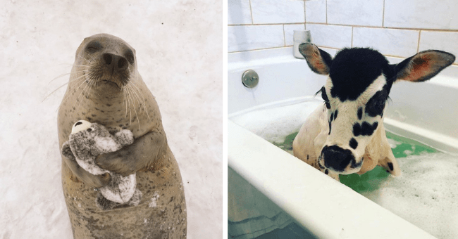 collection of pictures that are worth more than 1000 words thumbnail includes two pictures including one of a seal holding a seal plushy and another of a cow in a bathtub