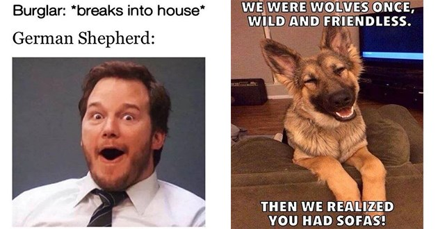 classic and funny german shepherd dog memes - thumbnail includes two images of german shepherds memes | Burglar breaks into house German Shepherd: Parks and Recreations Andy Chris Pratt | WERE WOLVES ONCE, WILD AND FRIENDLESS. THEN REALIZED HAD SOFAS!