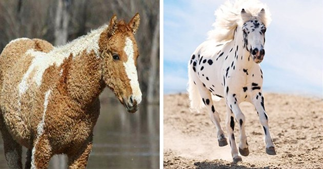 gorgeous and uniquely coated horses - thumbnail includes two images one of curly coated horse and one of a dalmatian-looking horse black and white spots