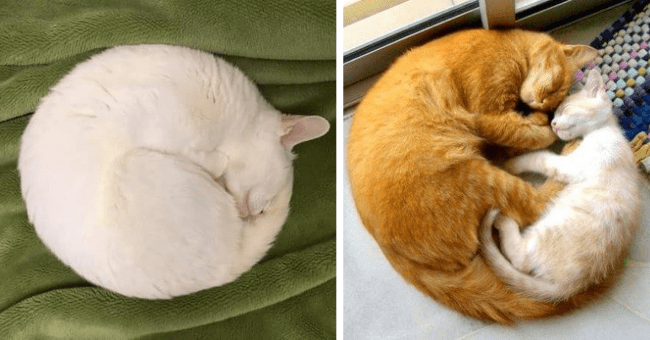 pictures and tweets of cats making perfect circles thumbnail includes two pictures including a white cat against a green background making a perfect circle and another of a ginger cat and kitten hugging and making a perfect circle