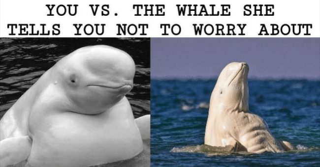 collection of whale memes thumbnail includes one meme with two pictures including a fat looking whale and a muscular looking whale with the caption 'Beluga whale - YOU VS. THE WHALE SHE TELLS YOU NOT TO WORRY ABOUT'