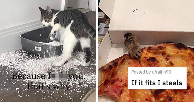 pics and vids of animals being jerks - thumbnail includes two images one of cat making a mess with the litter and one of a cat trying to steal pizza | Because fuck you | If it fits I steals