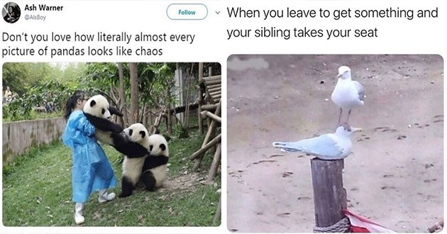 week's best top and funniest animal memes - thumbnail includes two images one of panda cub chaos and one of a bird on top of another birds head | Ash Warner Follow @AlsBoy Don't love literally almost every picture pandas looks like chaos | leave get something and sibling takes seat