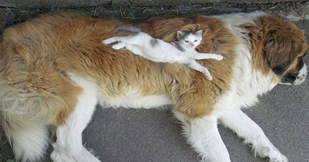 cats sleeping on dogs and using them as their own purrsonal pillow and bed | tiny kitten stretched along the body of a large dog cute aww wholesome