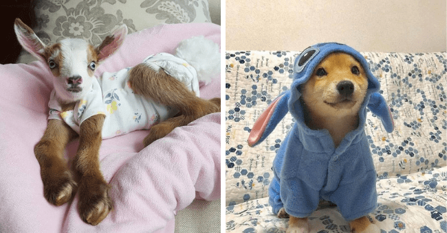 pictures and tweets of animals wearing pajamas thumbnail includes two pictures including a goat on a bed wearing pajamas and a dog wearing a blue onesie pajama Stitch