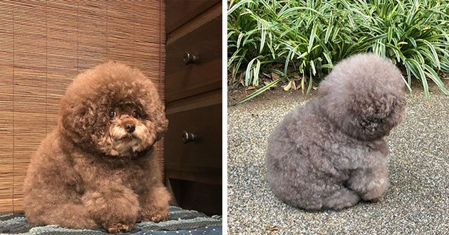 pictures of adorable toy-looking poodle named Kokoro - thumbnail includes two images of adorable fluffy and round kokoro