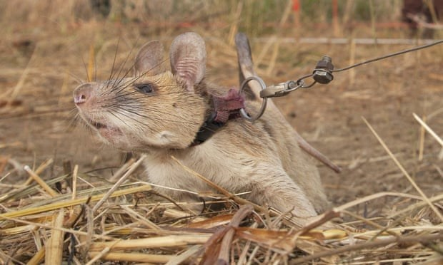 heroic rat who sniffed out 39 landmines awarded medal of bravery - thumbnail of rat sniffing out landmines