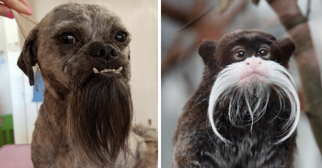 cute and funny pics of animals who look like magicians wizards magical fantasy long full beards pointy hats witches | brown dog with long tufts of hair under its chin and monkey with an impressive white mustache