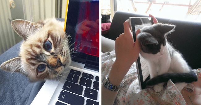 pictures and tweets of cats and kittens asking for attention thumbnail includes two pictures including one of a cat sitting on someone's chest leaning against that person's tablet and another of a cat peeking over someone's computer