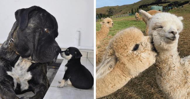 pictures of animals 'kissing' nuzzling each other thumbnail includes two pictures including two alpacas with one of them nuzzling the neck of the other and another picture of a big dog touching noses with a tiny puppy