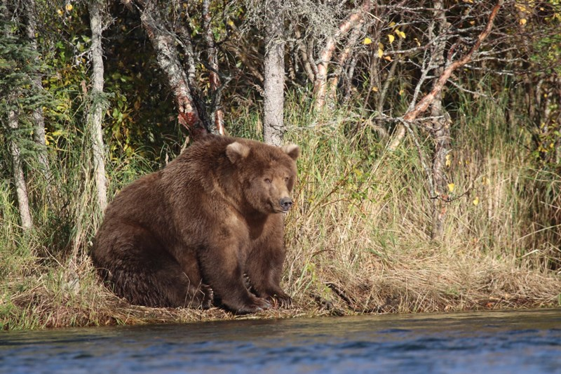 Katmai National Park annual 'fat bear week' begins - thumbnail of chubby bear from the Katmai National Park