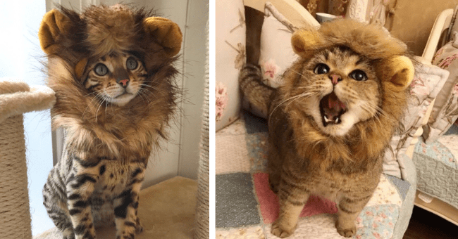 pictures of cats and kittens wearing lion manes thumbnail includes two pictures including a cat with its mouth open wearing a lion mane and a cat with a lion mane on standing tall and looking proud