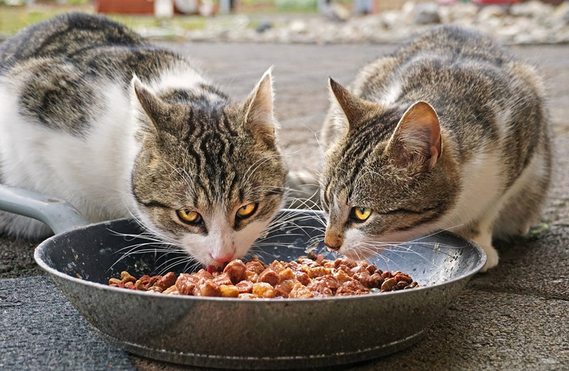 new study reveals that cats are more satisfied after one large meal instead of multiple smaller ones - thumbnail of cats eating