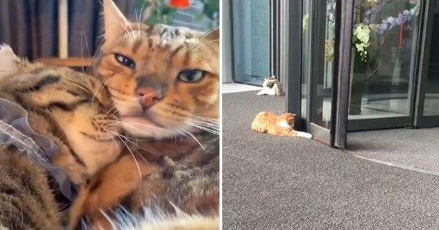 most viral and adorable cat videos trending on instagram - thumbnail includes two images one of two cats in love and the other of a cat playing with a rotating door