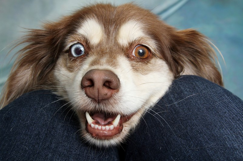 """new study revealing how a dogs heart beats skyrockets when hearing the words, """"I love you"""" - thumbnail of smiling dog"""
