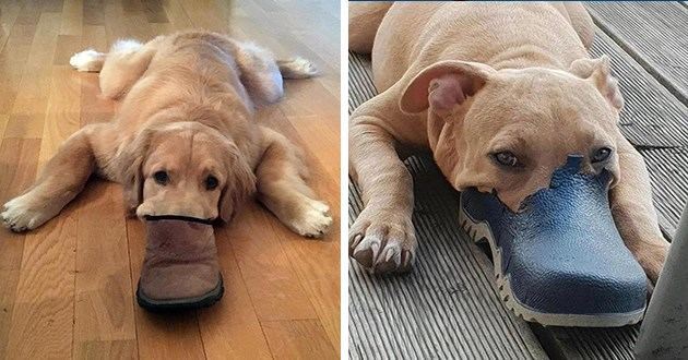 dogs who have their snouts in shoes looking like a platypus - thumbnail includes two images one of a golden retriever in a shoe and one of a pitbull in a shoe