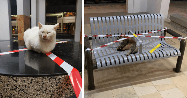 pictures of rebellious cats crossing the 'do not cross tape' thumbnail includes two pictures including a cat sitting on the do not cross tape on a table and another of a cat lying on a bench that has do not cross tape on it