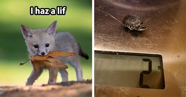 "wholesome adorable animal memes to uplifting spirits - thumbnail includes two images one of a fox with a leaf ""i has a lif"" and one of a tiny turtle who weighs 2 grams"