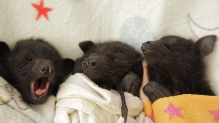 adorable bats being their sweet adorable selves - thumbnail of baby bats sleeping and yawning