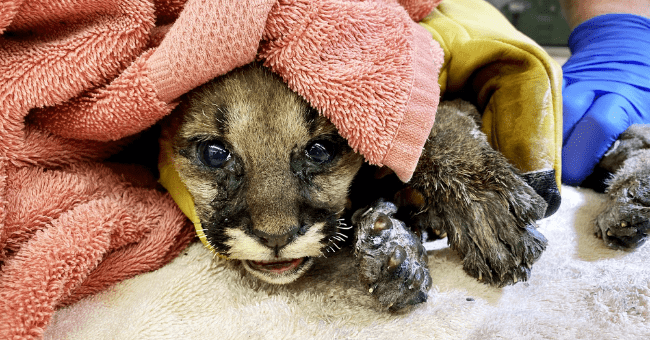 story of a 4 to 6 week old mountain lion cub who was rescued by firefighters from the California wildfires thumbnail includes a picture of the mountain lion cub covered in a pink blanket