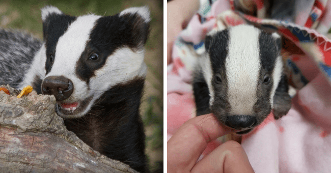 pictures of adorable badgers to celebrate national badger day thumbnail includes two pictures including a picture of a baby badger biting someone's finger and a badger smiling behind a rock