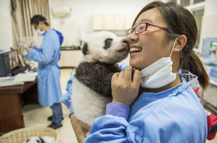 funyn and adorable images of pandas and a life of a panda nanny - thumbnail of nanny holding up baby panda and smiling