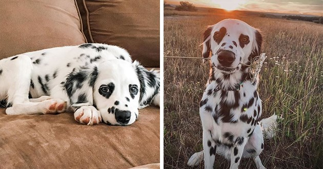 pics and vids of the heart-eyed dalmation charlie - thumbnail of baby heart-eyed charlie and charlie full grown with flower in mouth