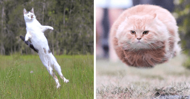 pictures of cats caught midair hover cats flying cats thumbnail includes two pictures including a cat mid jump parallel to the ground looking like a loaf and another white cat mid jump in a field fully straightened out