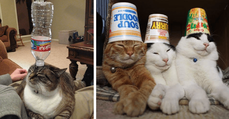 pictures of cats balancing things on their heads thumbnail includes two pictures including a cat with a bottle on its head and three cats with ramen cups on their heads