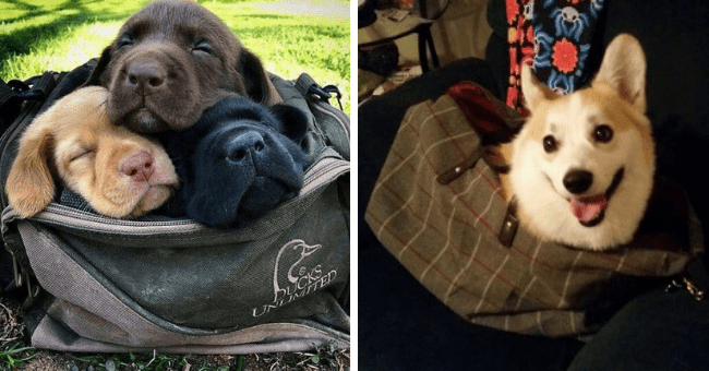 pictures and tweets of dogs and puppies hanging out inside bags thumbnail includes two pictures including a smiling dog sitting in a bag and another of three chill dogs hanging out in a bag together