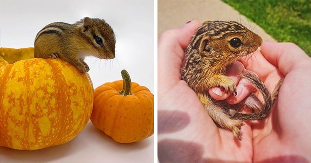 pics and vids of small, adorable baby chipmunks - thumbnail includes two images of small, adorable baby chipmunks on a pumpkin and in a person's palm