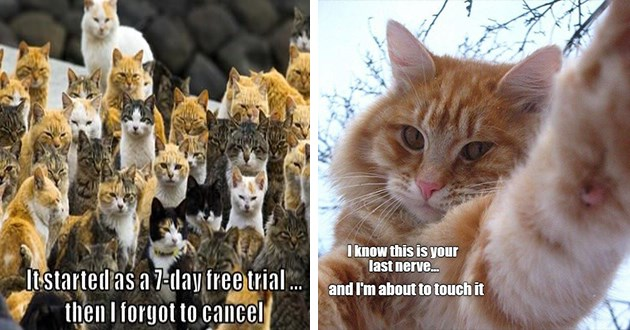 "original cat memes by i can has cheezburger users lolcats - thumbnail includes two images one of 7-day trial cats and one of cat touching screen ""I know this is your last nerve... and i'm about to touch it"" 