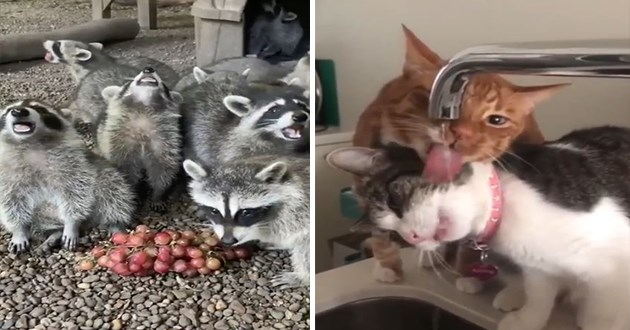 cute and funny animal gifs - thumbnail includes two images one of raccoons enjoying some cherries and one of two cats trying to drink water from the sink