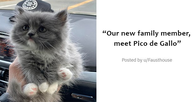 all the newly adopted rescue animals of the week - thumbnail of tiny grey kitten held up in one hand Our new family member, meet Pico de Gallo