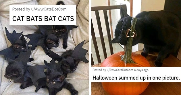 beautiful and funny images of black cats - thumbnail includes two images one of bat cats and one of a black cat biting a pumpkin stem small black kittens wearing bat wings | Halloween summed up in one picture