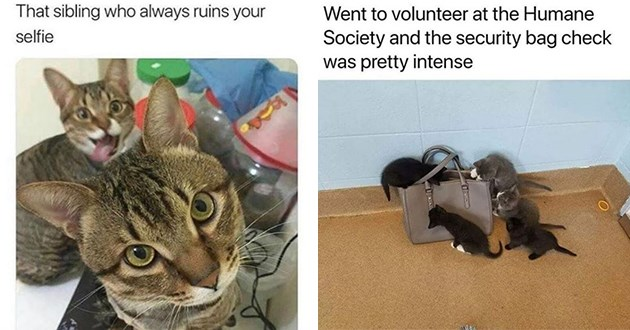 newest and hottest cat memes for caturday - thumbnail includes two images one of cat selfie with sibling ruining the picture in the back and one of kittens at the humane society doing a security bag check | sibling who always ruins selfie | Went volunteer at Humane Society and security bag check pretty intense kittens climbing a handbag