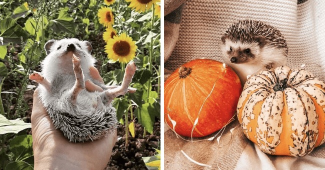 tweets of hedgehog pictures from a twitter account that uploads hedgehog pictures daily thumbnail includes two pictures including a hedgehog sitting behind two pumpkins and another of someone holding a hedgehog above some sunflowers