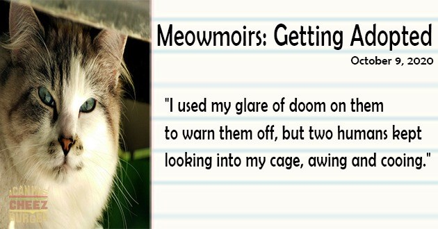 "first entry of meowmoirs diary of a cat written from a cat's perspective getting adopted thumbnail includes a picture of a cat glaring and text over a notebook page 'Cat - Meowmoirs: Getting Adopted October 9, 2020 ""I used my glare of doom on them to warn them off but two humans kept looking into my cage awing and cooing"" ACANH CHEEZ URGE'"