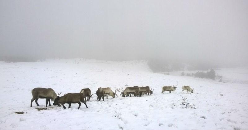reindeer wildlife christmas - 1268485
