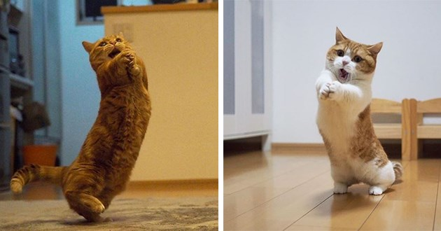 action shots of munchkin cats that look like their playing invisible volleyball - thumbnail includes two images of munchkin cats that look like they're playing invisible volleyball