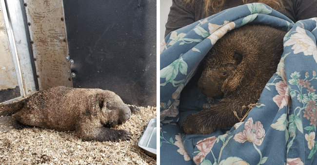 story about a porcupine who was rescued from the labor day wildfires and immediately after her release was reunited in the trees with her mate thumbnail includes two pictures including one of the porcupine lying flat sploot on its stomach and another of the porcupine snuggled up in a blanket